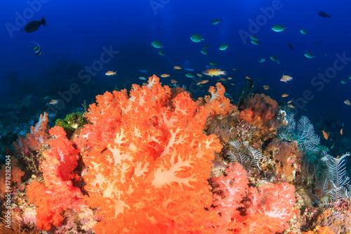 Plakat Jaskrawy barwiący miękcy korale na zdrowej tropikalnej rafie koralowa