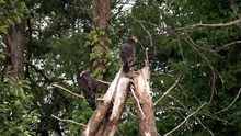 Two Turkey Vultures Dead Pine ...