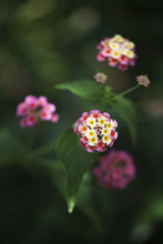 Bicolor Pink And Yellow Lantana Flowers And Buds Blossom On The Shrub