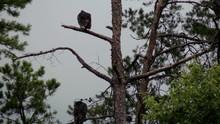 Turkey Vultures On Dead Pine T...
