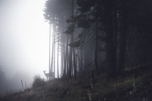 Distant Deer In A Misty Forest
