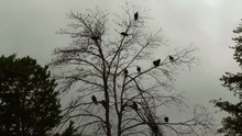 Flock Of Turkey Vultures Dead ...