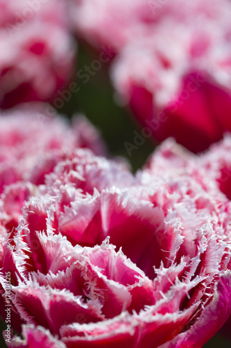 Staande foto Bordeaux Nature and Botanical Concepts. Macro Shot of National Rose Dutch Tulips Of Queensland Kind Against Blurred Background. Located in Keukenhof National Park in the Netherlands.