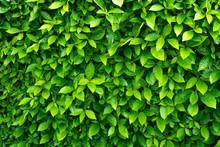 Green Leave Background. Evergr...
