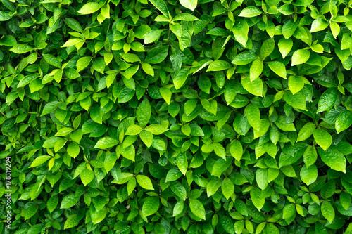 Green leave background. Evergreen shrub Fototapeta