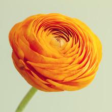 Macro Of Orange Ranunculus Flo...