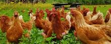 Bio Hühner Herde  Auf Grüner...