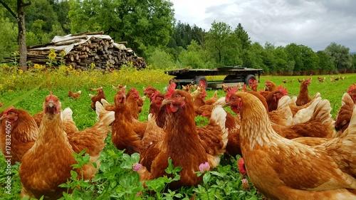Foto op Plexiglas Kip Bio Hühner Herde auf grüner Wiese 3
