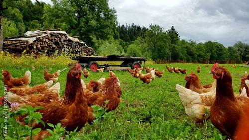 Tuinposter Kip Bio Hühner Herde auf grüner Wiese 2