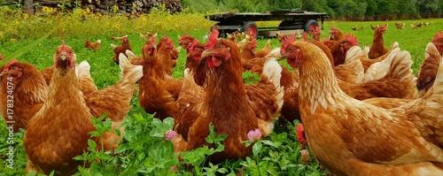 Tuinposter Kip Bio Hühner Herde auf grüner Wiese 1