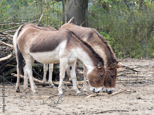 Kiang, Equus hemionus holdereri, a group of rare Asian donkeys