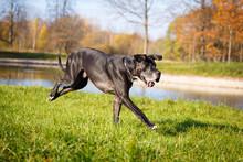Black Great Dane Dog