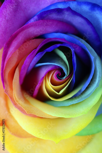 Foto op Canvas Madeliefjes Close up of rainbow rose flower