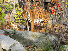 Adult Male Indochinese Tiger, ...