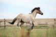 Welsh pony running on pasturage