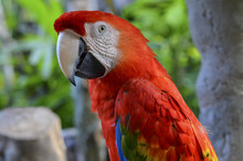 Close Up Of Large Red Parrot.