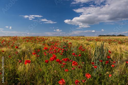 Plakat Pole z pszenicznymi uszami i mnóstwem czerwonych maków. Piękne niebo z chmurami. Przestrzeń pól.
