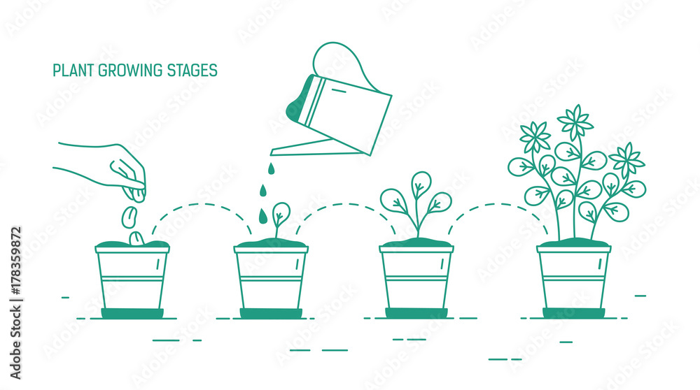 Fototapety, obrazy: Growing phases of potted plant - seeding, germination, watering of seedlings, blooming. Life cycle of houseplant drawn with green contour lines on white background. Monochrome vector illustration.