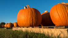 Low Angle View Of Pumpkins On Pallets