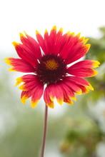 Цветок Gaillardia Pulchella