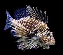 Lion Fish Side Black Background