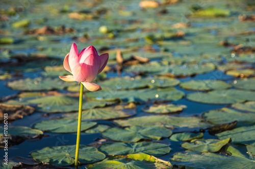 Lotus Flower Blossom On The Lake Near Almaty Kazakhstan Beautiful