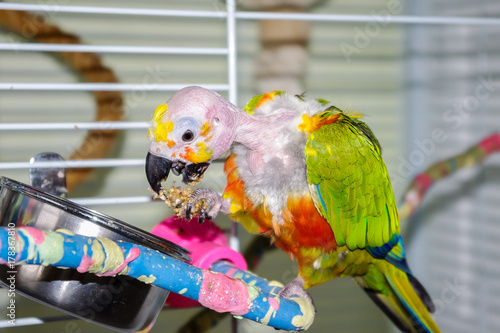 Bald parrot with open beak eating millet while holding in