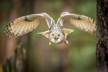 Siberian Eagle Owl, Bubo Bubo ...