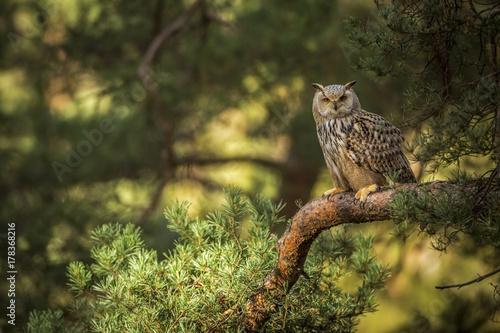 Photo  siberian eagle owl, bubo bubo sibiricus