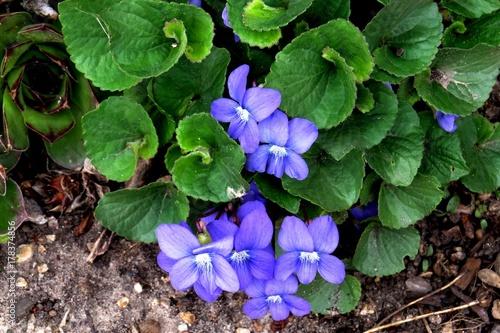 Purple Violet Fototapet