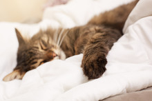 Cute Tabby Cat Seeping In Bed. Selective Focus On Paw.