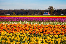 A Field Of Colorful Tulips In ...