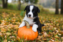 Corgi Puppy Dog With A Pumpkin...