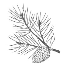 A Pine Branch With Pine Cones....