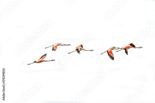 Flying Rosy Flamingos at Nimez Birds Reservation area, Patagonia