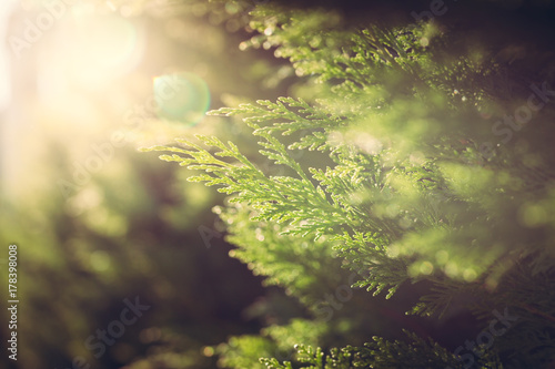 Canvastavla  Cypress close up in sunlight