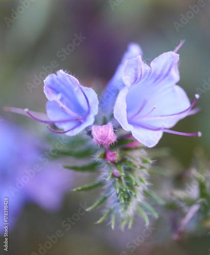 Plakat Dzika błękitna roślina w lato łące (żmii farbowanie lub blueweed).