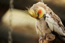 A Cockatiel Bird  Resting / Sl...