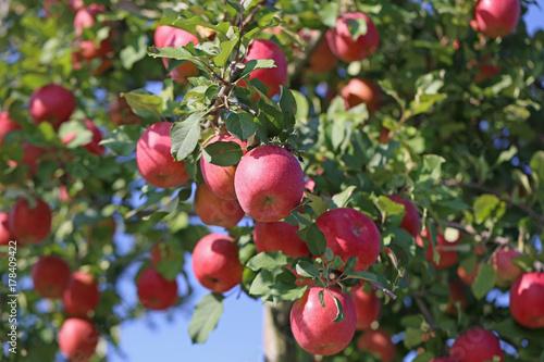 Plakat Jabłka jabłek