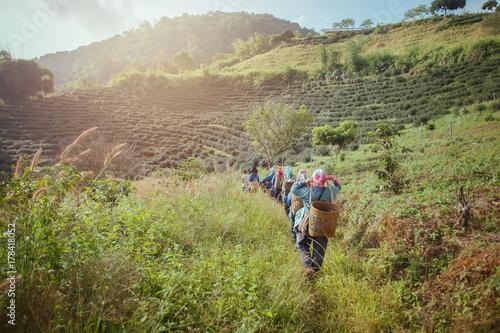 Fotografie, Obraz  Farmer walking with wooden basket tool walking to tea plantation.