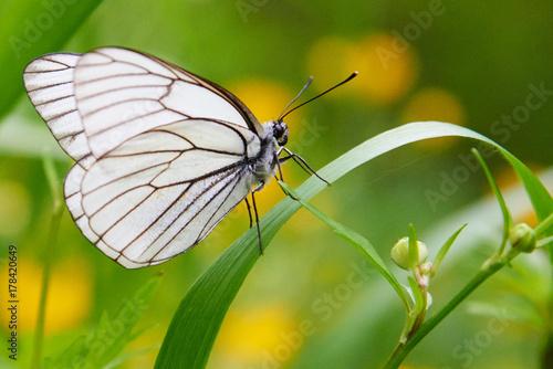 White butterfly Aporia crataegi Canvas Print