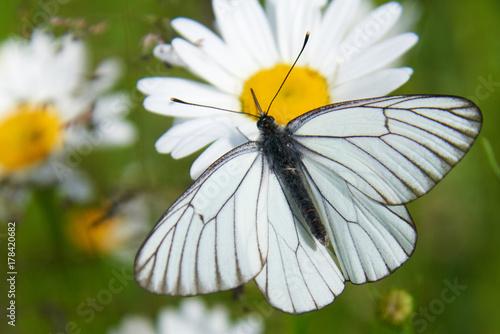 Photo White butterfly Aporia crataegi