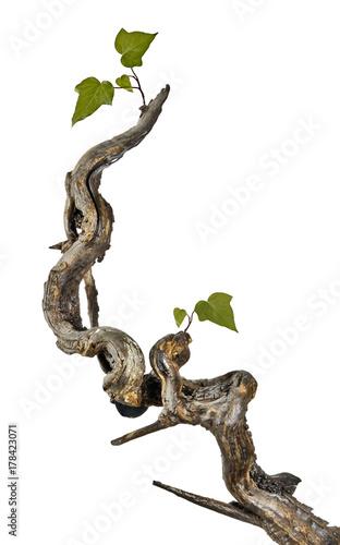 Grape vine isolated on white background Fototapete