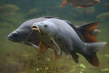 Wild Common Carp (Cyprinus Car...