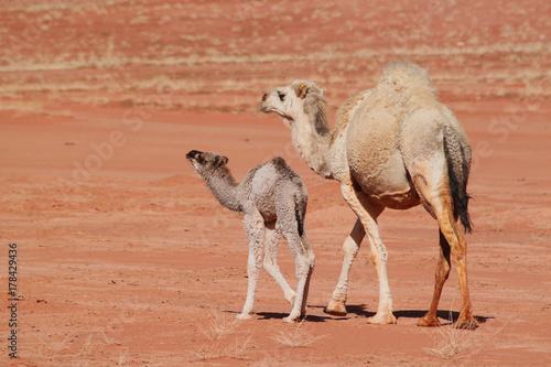 Baby camel with mother walking on red desert Wadi Rum in Jordan.