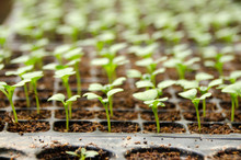 Young Seedlings Of Cucumbers I...