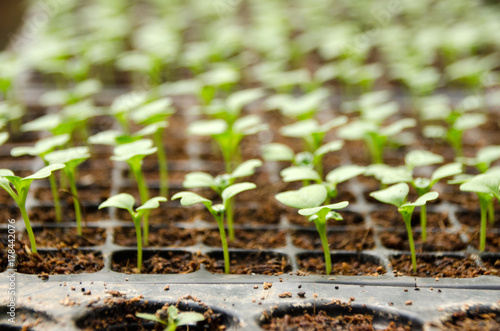 Young seedlings of cucumbers in tray. The vegetable tray in the farm.