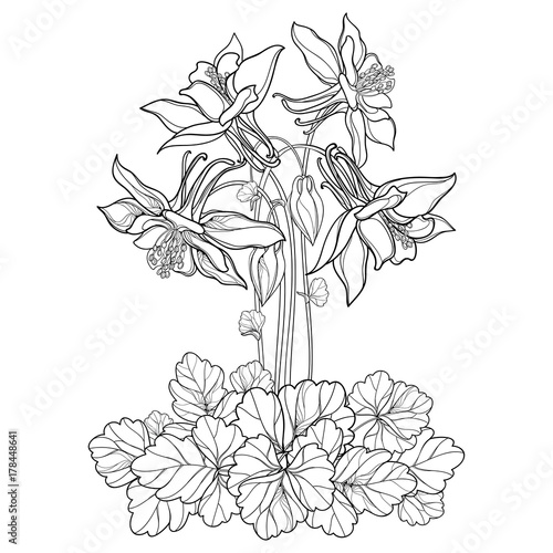 Vector Bouquet With Outline Ornate Aquilegia Or Columbine Flower Bud And Leaf In Black Isolated