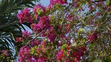 Big Bush Of Bougainvillea Mage...