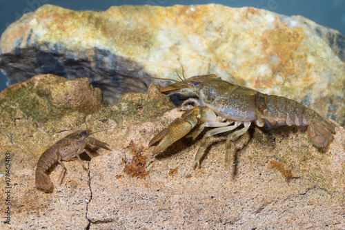 Two European crayfish, astacus astacus in the pond